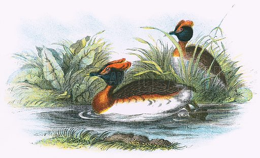 Sclavonian Grebe. A Hand-Book to the Birds of Great Britain by R. Bowdler Sharpe (1896).
