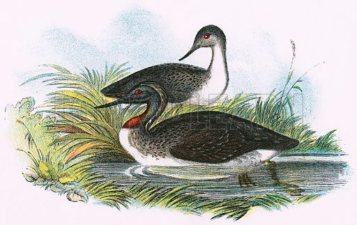 Red throated Diver. A Hand-Book to the Birds of Great Britain by R. Bowdler Sharpe (1896).