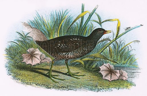 Spotted Crake. A Hand-Book to the Birds of Great Britain by R. Bowdler Sharpe (1896).