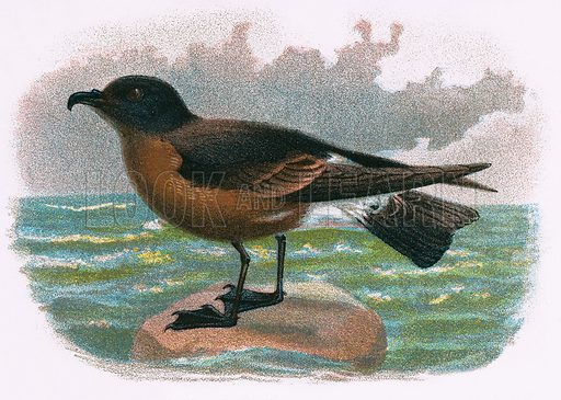 Madeira Petrel. A Hand-Book to the Birds of Great Britain by R. Bowdler Sharpe (1896).