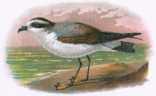 White bellied Petrel. A Hand-Book to the Birds of Great Britain by R. Bowdler Sharpe (1896).