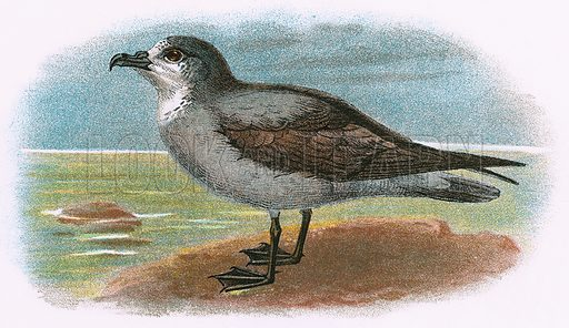 White throated Grey Petrel. A Hand-Book to the Birds of Great Britain by R. Bowdler Sharpe (1896).