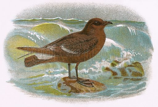 Storm Petrel. A Hand-Book to the Birds of Great Britain by R. Bowdler Sharpe (1896).