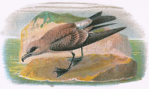 Fork tailed Petrel. A Hand-Book to the Birds of Great Britain by R. Bowdler Sharpe (1896).