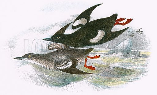 Black Guillemot - Birds of Britain, picture, illustration