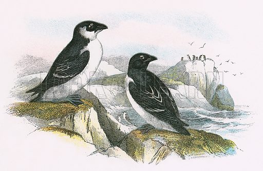 Little Auk. A Hand-Book to the Birds of Great Britain by R. Bowdler Sharpe (1896).