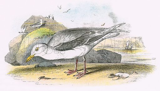 Glaucous Gull. A Hand-Book to the Birds of Great Britain by R. Bowdler Sharpe (1896).