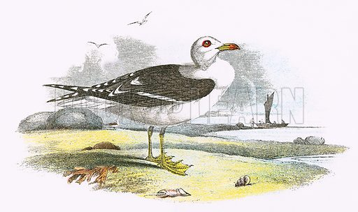 Lesser Black backed Gull. A Hand-Book to the Birds of Great Britain by R. Bowdler Sharpe (1896).