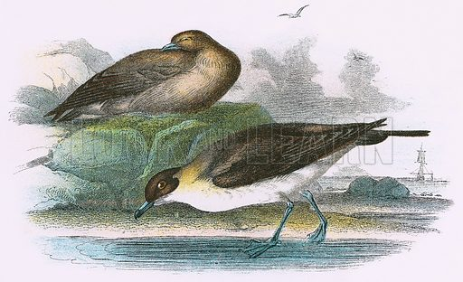 Richardson's Skua. A Hand-Book to the Birds of Great Britain by R. Bowdler Sharpe (1896).