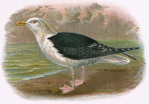 Great Black backed Gull. A Hand-Book to the Birds of Great Britain by R. Bowdler Sharpe (1896).