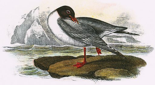 Black headed Gull. A Hand-Book to the Birds of Great Britain by R. Bowdler Sharpe (1896).