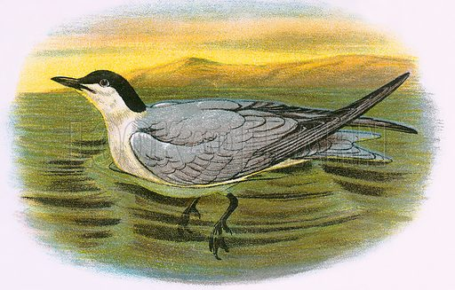 Gull Billed Tern. A Hand-Book to the Birds of Great Britain by R. Bowdler Sharpe (1896).