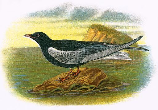 White winged black Tern. A Hand-Book to the Birds of Great Britain by R. Bowdler Sharpe (1896).