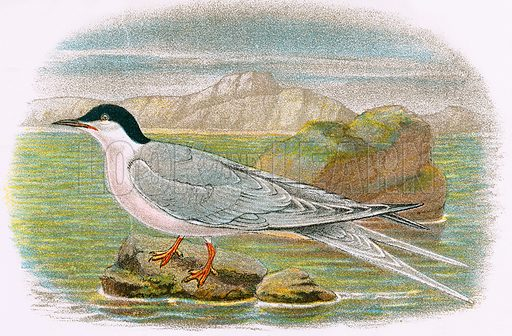 Roseate Tern. A Hand-Book to the Birds of Great Britain by R. Bowdler Sharpe (1896).