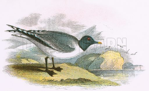 Sabine's Gull. A Hand-Book to the Birds of Great Britain by R. Bowdler Sharpe (1896).