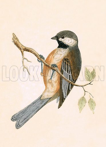 Siberian Tit. History of the Birds of Europe by C R Bree (1867).