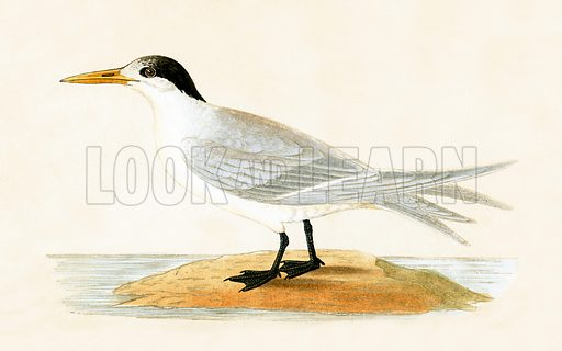 Allied Teren. History of the Birds of Europe by CR Bree (1867).