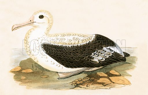 Wandering Albatross. History of the Birds of Europe by CR Bree (1867).