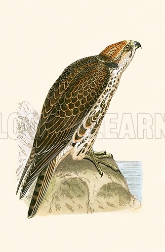 Saker Falcon. History of the Birds of Europe by CR Bree (1867).