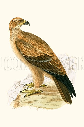 Tawny Eagle. History of the Birds of Europe by C R Bree (1867).
