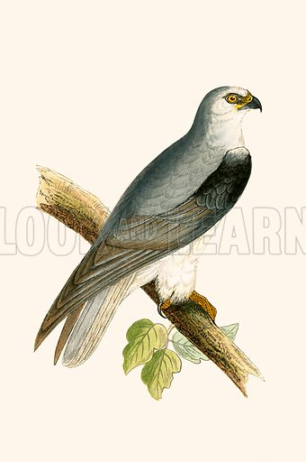Black winged Kite. History of the Birds of Europe by CR Bree (1867).