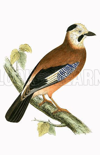 Black headed Jay. History of the Birds of Europe by CR Bree (1867).