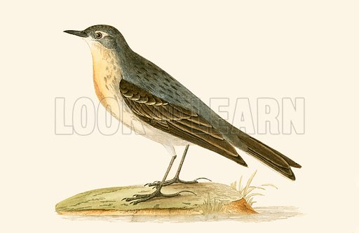 Water Pipit. History of the Birds of Europe by C R Bree (1867).