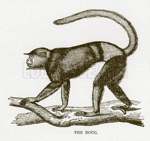 The douc. The Royal Natural History, ed Richard Lydekker (Frederick Warne, 1896).