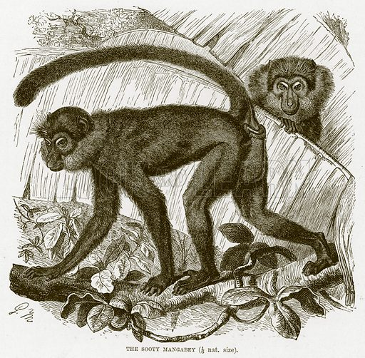 Sooty mangabey. The Royal Natural History, ed Richard Lydekker (Frederick Warne, 1896).