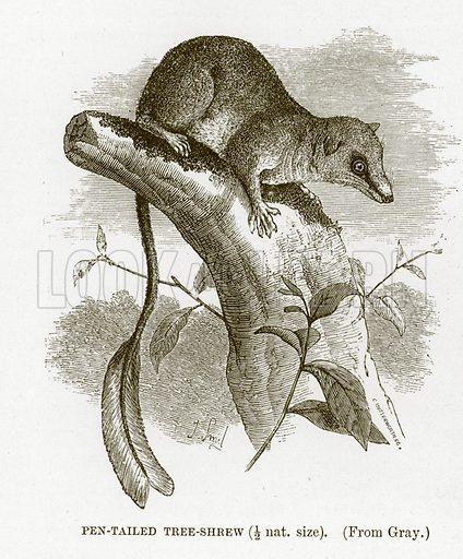 Pen-tailed tree-shrew. The Royal Natural History, ed Richard Lydekker (Frederick Warne, 1896).