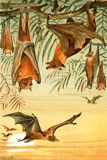 Fruit Bats. The Royal Natural History, ed Richard Lydekker (Frederick Warne, 1896).