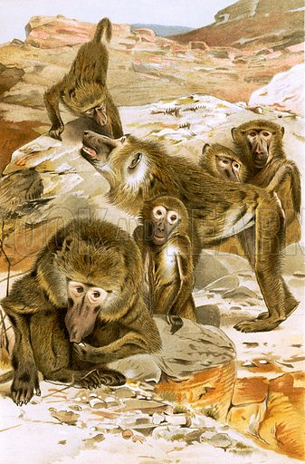 Baboons, picture, image, illustration