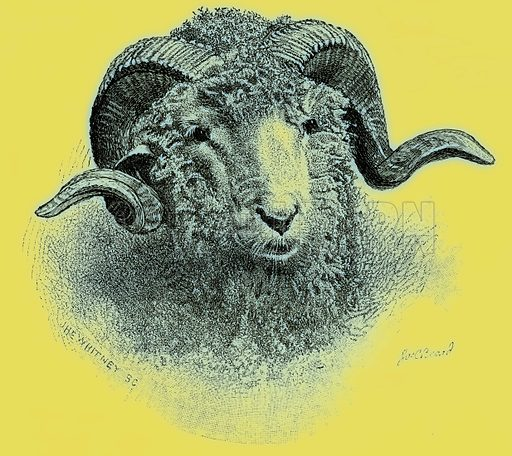 Merino sheep illustration artwork picture