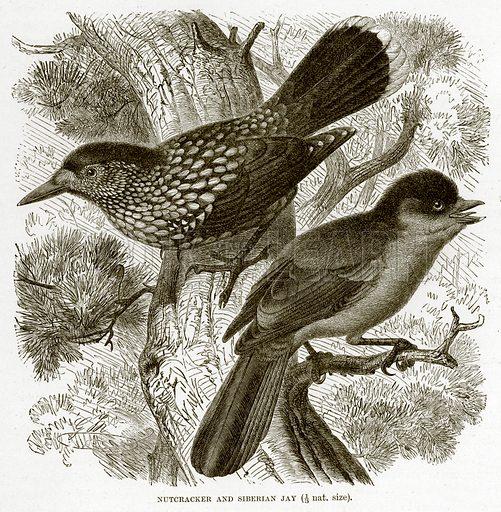 Nutcracker and Siberian Jay. The Royal Natural History, ed Richard Lydekker (Frederick Warne, 1896).
