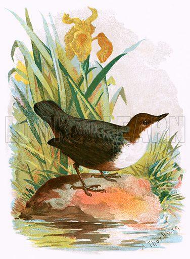 Dipper. Familiar Wild Birds by W Swaysland (Cassell, c 1900).