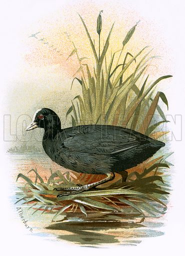 Coot: Birds of Britain, illustration, picture