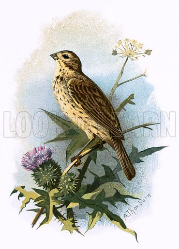 Common Bunting. Familiar Wild Birds by W Swaysland (Cassell, c 1900).