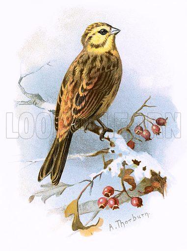 Yellow Hammer. Familiar Wild Birds by W Swaysland (Cassell, c 1900).