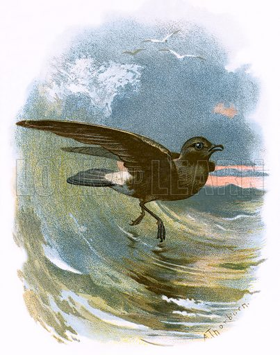 Storm Petrel. Familiar Wild Birds by W Swaysland (Cassell, c 1900).