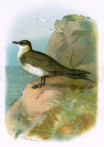 Skua. Familiar Wild Birds by W Swaysland (Cassell, c 1900).