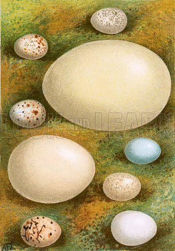 Eggs. Familiar Wild Birds by W Swaysland (Cassell, c 1900).