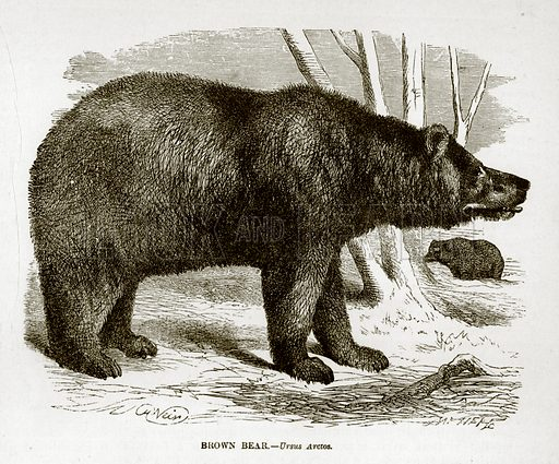Brown Bear. Engraving from J G Wood's Illustrated Natural History (c 1850).