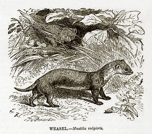 Weasel. Engraving from J G Wood's Illustrated Natural History (c 1850).