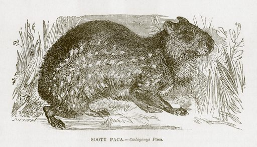 Sooty Paca. Engraving from JG Wood's Illustrated Natural History (c 1850).