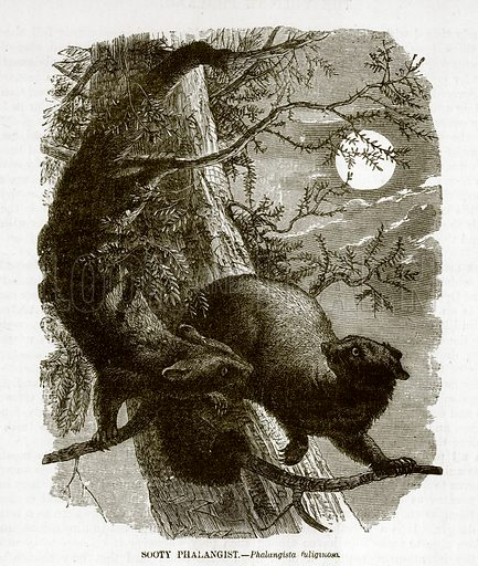 Sooty Phalangist. Engraving from JG Wood's Illustrated Natural History (c 1850).