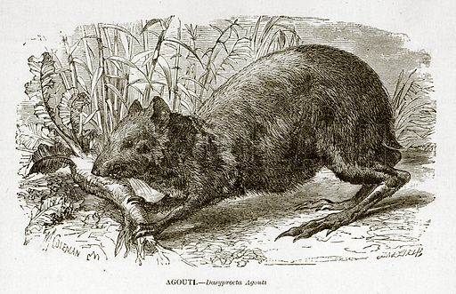 Agouti. Engraving from J G Wood's Illustrated Natural History (c 1850).