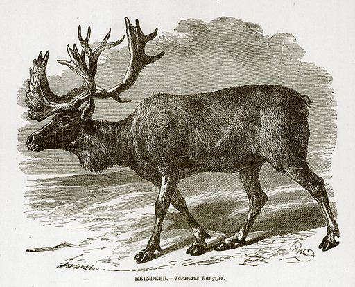 Reindeer. Engraving from J G Wood's Illustrated Natural History (c 1850).