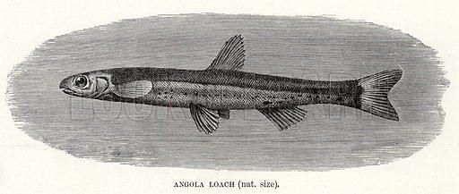 Angola Loach. The Royal Natural History, ed Richard Lydekker (Frederick Warne, 1896).