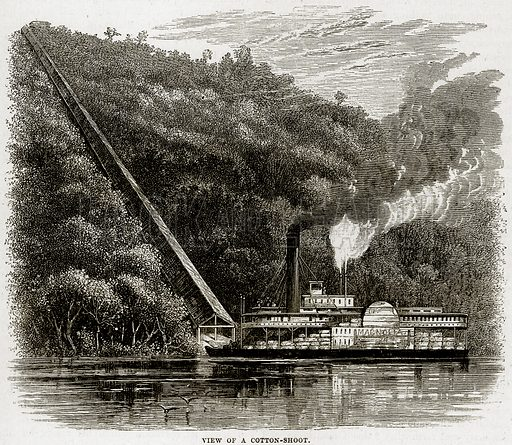 View of a cotton-shoot. Illustration from Cassell