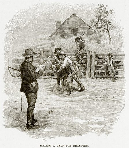 Seizing a calf for branding. Illustration from Cassell's Picturesque Australasia by EE Morris (c 1889).